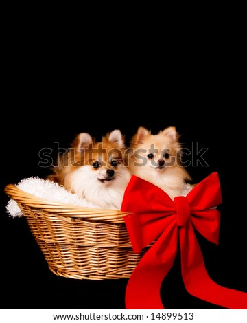 Two adorable Pomeranian puppies in a wicker basket with a big red bow.