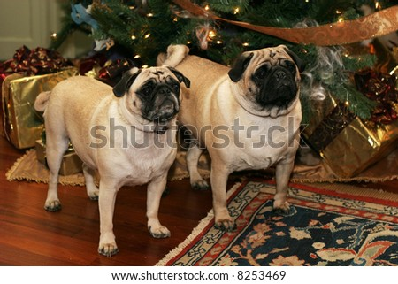Fun Picture Pug Dogs Back Ends Stock Photo 6983701 - Shutterstock