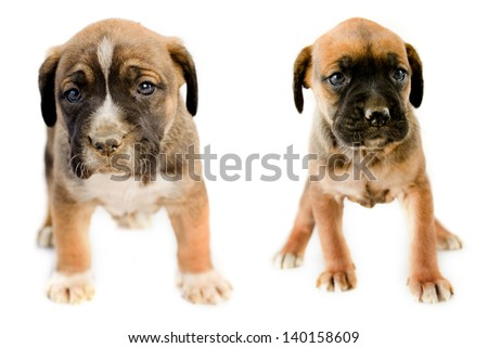 Two adorable puppy Boxer sitting in front of white background - stock photo