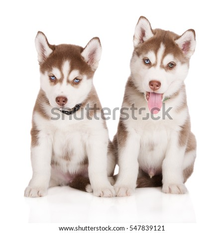 two adorable siberian husky puppies posing on white