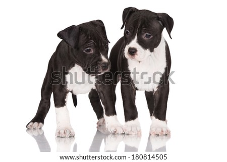 two adorable staffordshire terrier puppies - stock photo