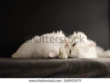 Two adorable white Persian kittens cuddling - stock photo