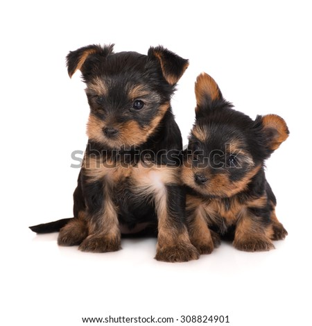 two adorable yorkie puppies - stock photo