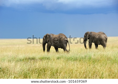 Two adult african elephants running in the savannah Serengeti, Tanzania