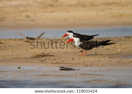 Two adult African skimmers sitting on a sand bank next to the Zambezi River
