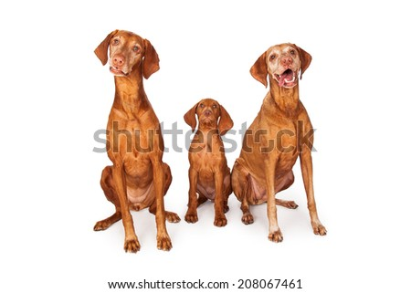 Two adult and one young puppy Vizsla breed dogs sitting together - stock photo