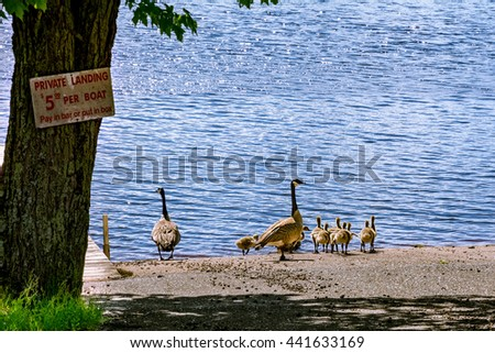 Canada Goose womens replica discounts - Adult Geese Stock Photos, Royalty-Free Images & Vectors - Shutterstock