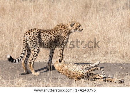 Two adult cheetahs  resting after successfull hunting, Masai Mara National Reserve, Kenya, East Africa - stock photo
