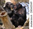Two adult chimpanzees diner and talking in Zoo Pilsen - Czech Republic - Europe - stock photo