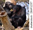 Two adult chimpanzees in Zoo Pilsen - Czech Republic - Europe - stock photo