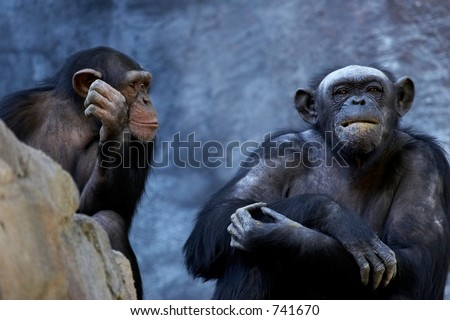 Two adult chimpanzees talking and thinking - stock photo