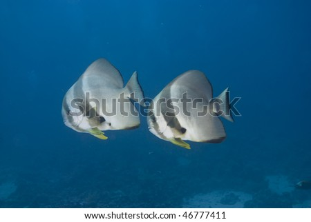 Two adult Circular batfish (Platax orbicularis) side view,full length. Red Sea, Egypt