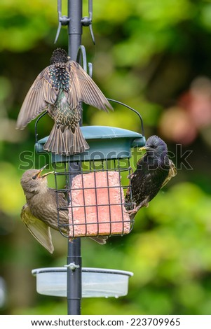 Two adult common starlings (Sturnus vulgaris) along with a juvenile on a bird feeder in an urban British garden. Vertical format. - stock photo