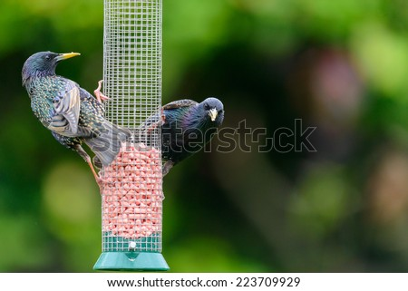 Two adult common starlings (Sturnus vulgaris) perch on a mesh bird feeder in an urban British garden. Horizontal format with copy space. - stock photo