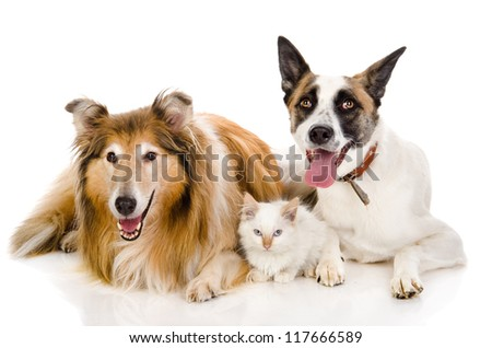 two adult dogs and tiny kitten. isolated on white background - stock photo