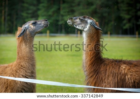 Two adult Guanaco lamas in a dispute, close up - stock photo