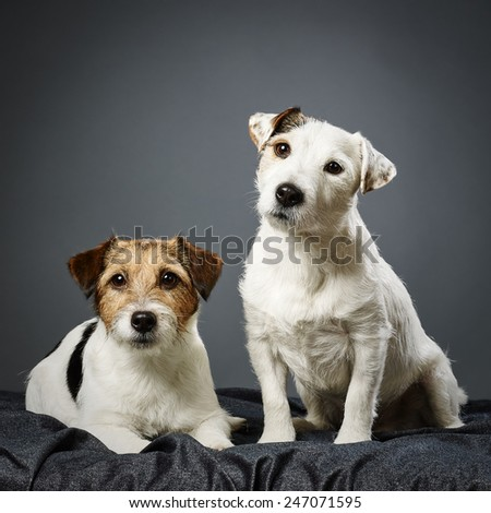 Two adult Jack Russell terrier together, male and female - studio shot and gray background - stock photo