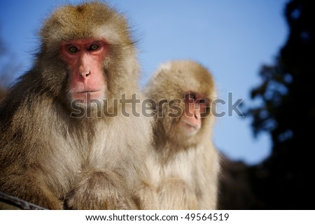 Two adult Japanese Macaque snow monkeys sitting together with blue sky and trees in background - stock photo