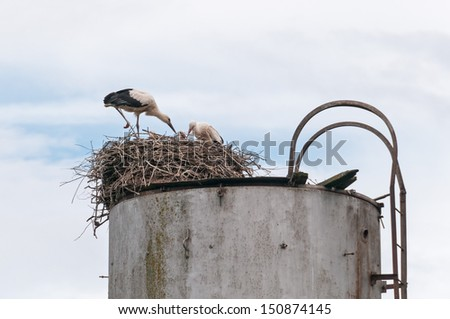Two adult white storks (Ciconia ciconia) stand in nest over nestlings on water tower top against sky background. Ugra National Park, Kaluzhsky region, Russia.  - stock photo