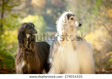 two afghan hounds portrait in autumn - stock photo
