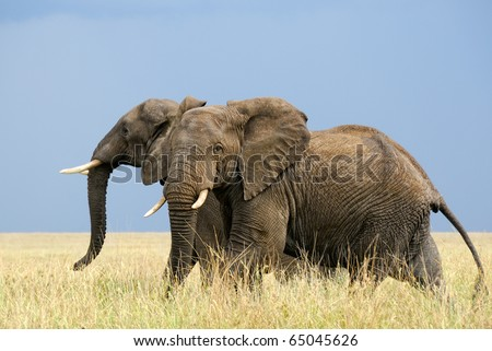 Two afraid african elephants running in savanna - stock photo
