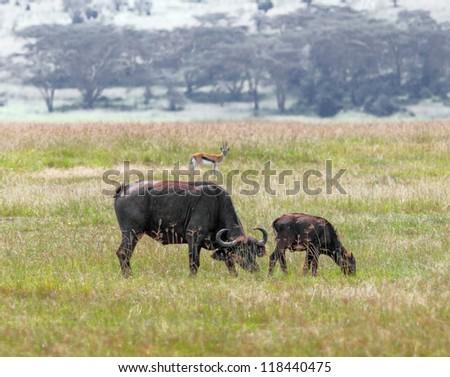 Two african buffalo on the Lake Nakuru National Park - Kenyam East Africa - stock photo