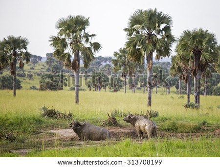 Two African Buffaloes covered in mud  - stock photo