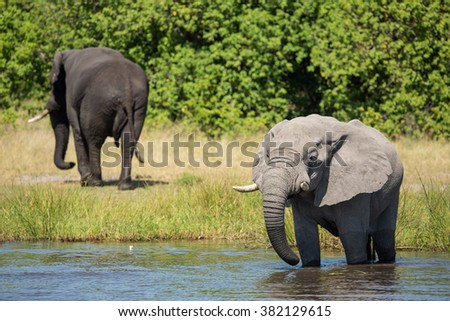 Two African Elephants at the river's edge in Etosha National Park in Namibia - stock photo