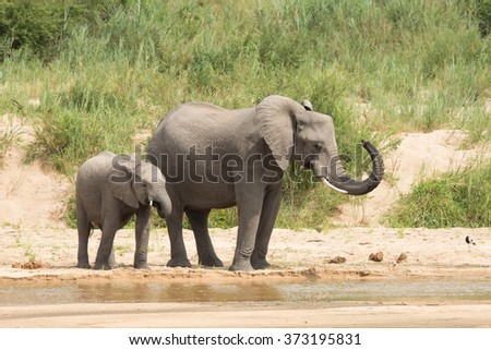 Two African Elephants drinking from the river in Kruger Park South Africa - stock photo