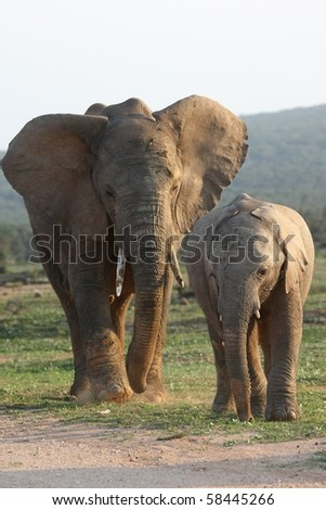 Two African elephants in the afternoon sun