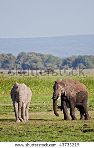 Two African elephants just coming out of the mud