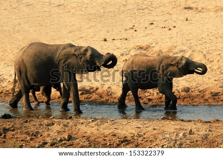 Two African Elephants (Loxodonta Africana) Drinking in the Twilight, Tarangire National Park, Tanzania