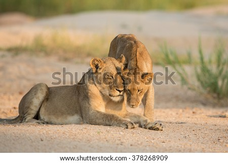 Two African female lions in the sandy river bed displaying affection Kruger Park South Africa - stock photo