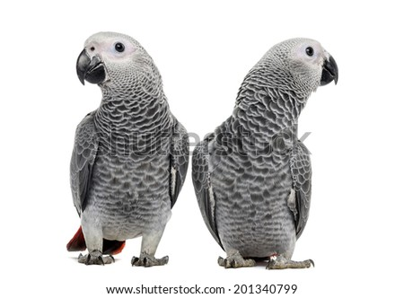 Two African Grey Parrot (3 months old) isolated on white - stock photo