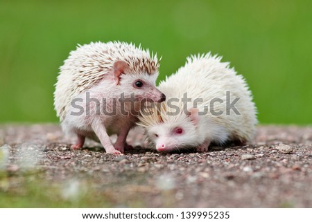 two african hedgehogs - stock photo