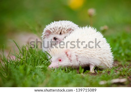 two african hedgehogs outdoors - stock photo