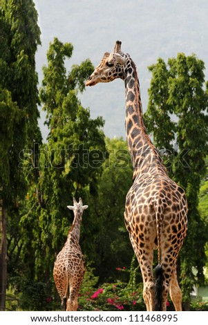 Two african origin giraffe standing in an enclosure at mysore zoo in India. They are scientifically known as Giraffa camelopardalis. These graceful & pretty animals are herbivores & love acacia leaves - stock photo