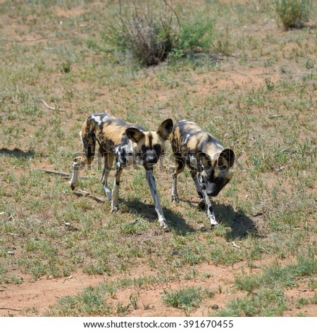 Two African Wild Dog in field, Namibia - stock photo