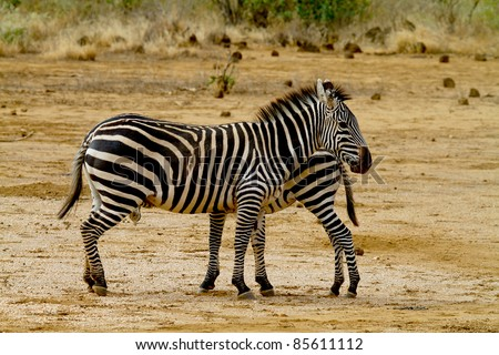 Two African zebra, mother and child, in nature