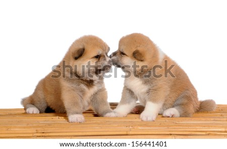 Two Akita dogs - puppies one month old, Licking each other on white isolated background