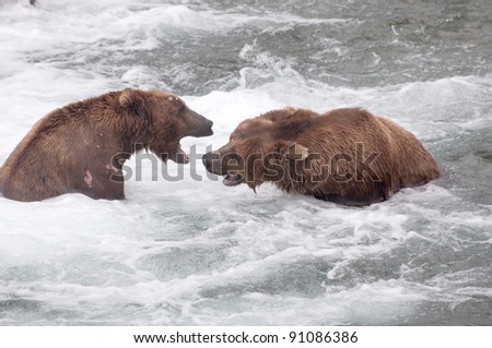 Two Alaskan brown bears fight in the rapids in Katmai National Park