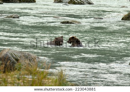 Two Alaskan Brown Bears fishing for salmon in the Chilkoot River, Haines, Alaska - stock photo