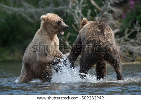 Two Alaskan brown bears sparring and playing in the Brooks River in Katmai National Park, Alaska