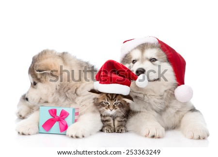 two alaskan malamute dogs and maine coon cat in red santa hat and gift box. isolated on white background - stock photo