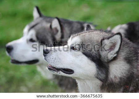 Two Alaskan Malamute Dogs Staying Outdoor In Summertime, closeup