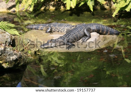 Two alligators laying on a rock in a pond.