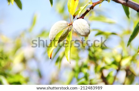 Two almonds on the tree branch  - stock photo