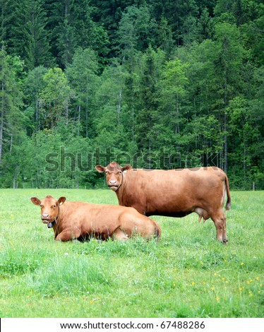 Two alpine cows on the green grass - stock photo