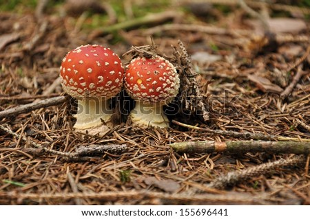 Two amanita muscaria in the forest on needles