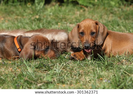 Two amazing Dachshund puppies laying on grass in the garden